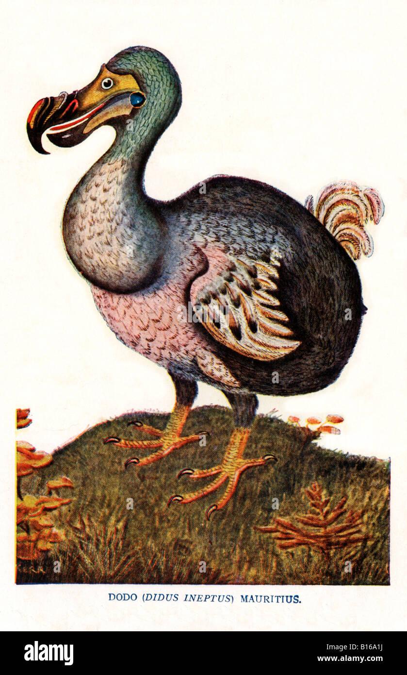 L'illustration de l'époque Victorienne Dodo oiseau Didus ineptus de Maurice disparu en 1681 Banque D'Images