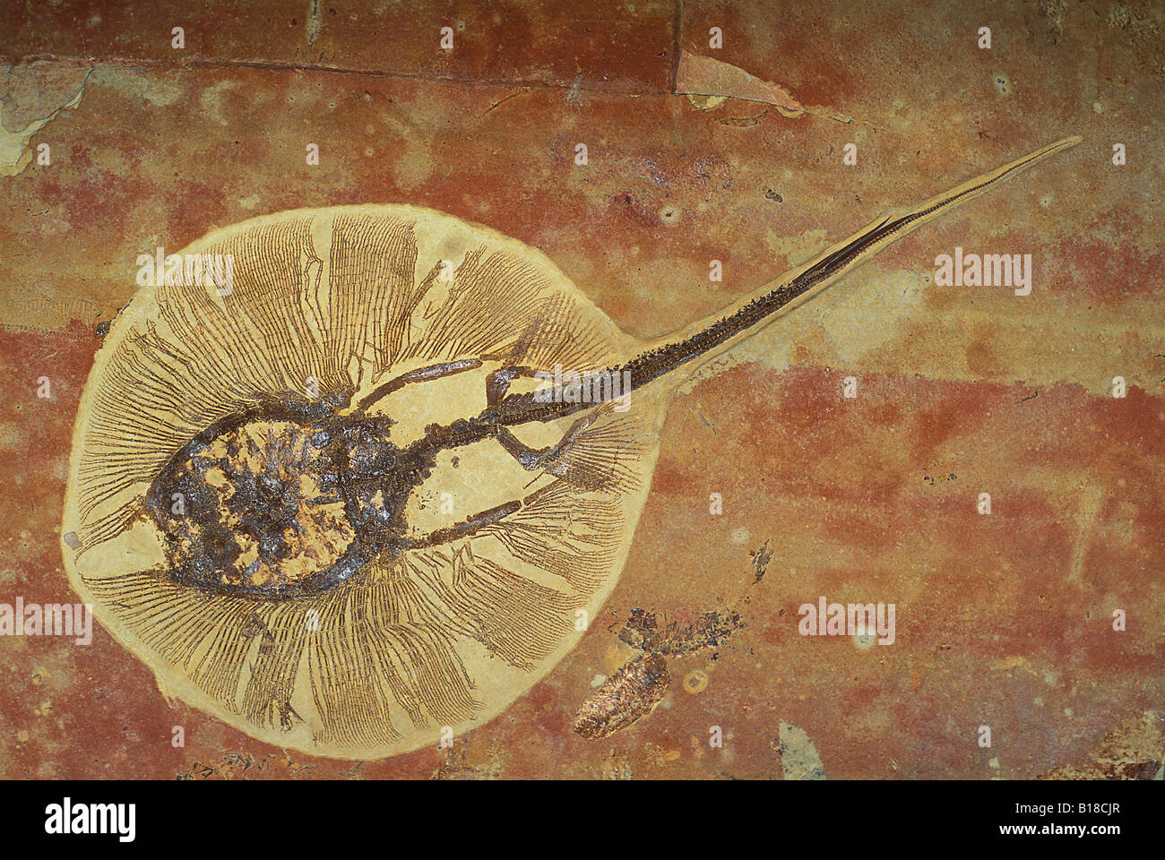 Période de l'Éocène Stingray fossile Photo Stock