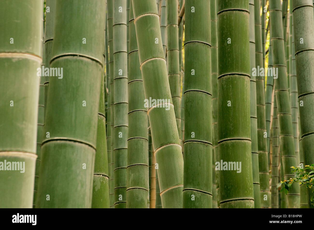 Forêt de bambou au Japon Kyoto Photo Stock
