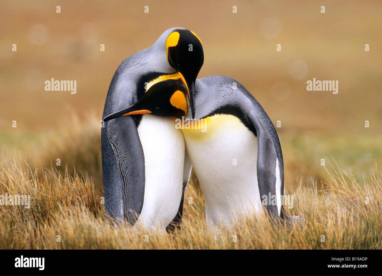 Les manchots royaux (Aptenodytes patagonicus) Point de bénévolat, Îles Falkland, le sud de l'Océan Photo Stock