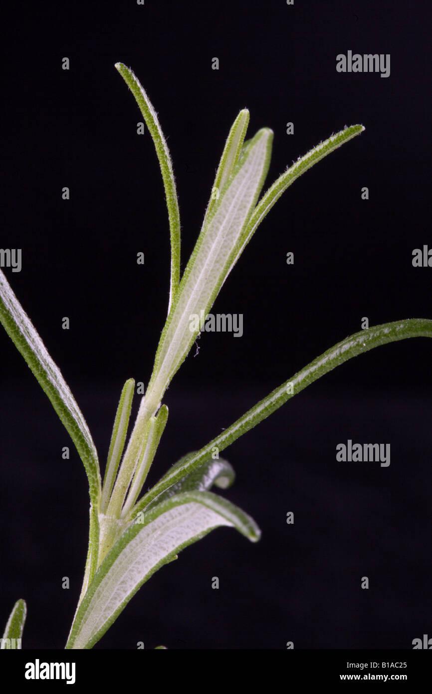 Close-up de thym (vertical) Photo Stock