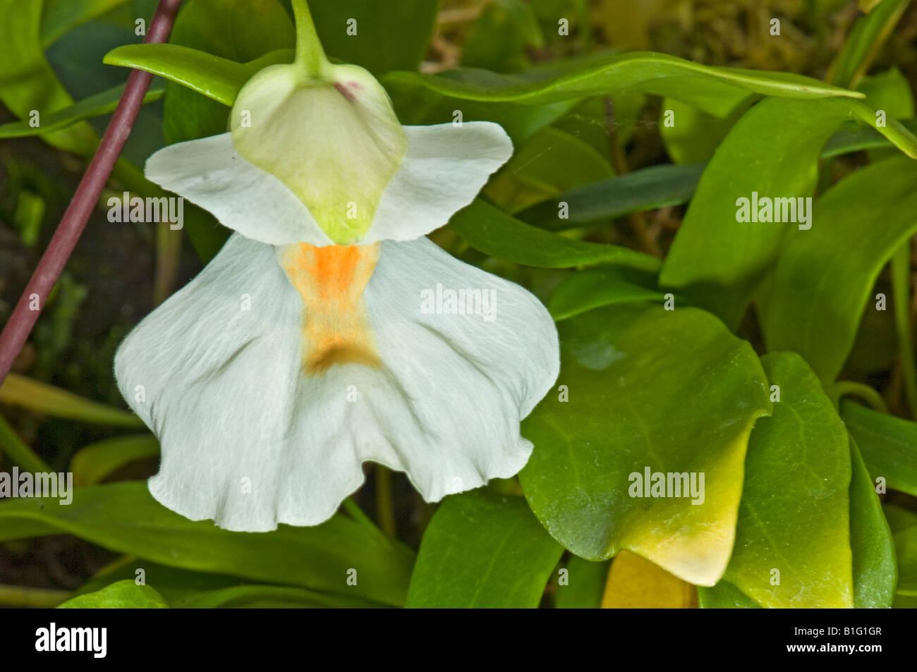 L'UTRICULARIA alpina Lentibulariaceae Antillen antilles plante vivace épiphyte carnivore carnivore tabliers fées f Banque D'Images