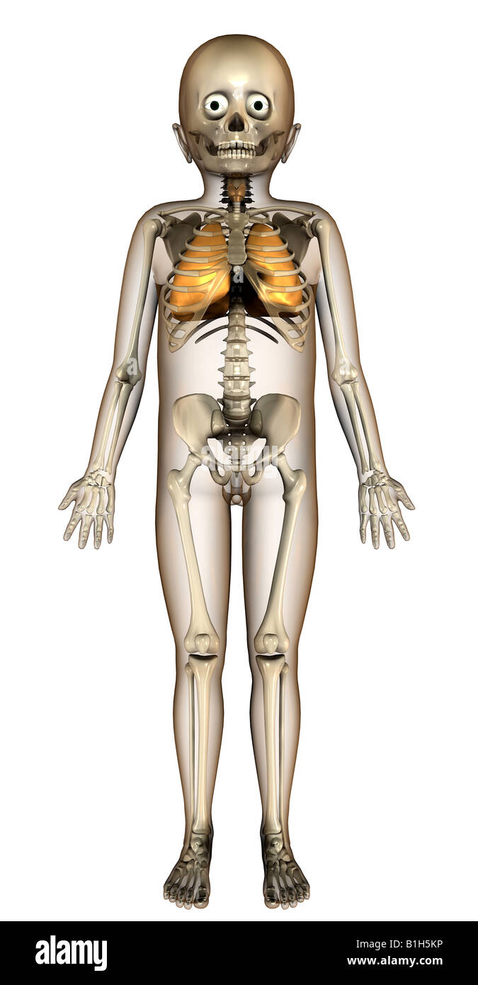 Respiratoire anatomie Photo Stock