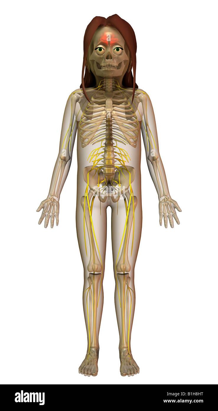 Les nerfs du cerveau anatomie Banque D\'Images, Photo Stock: 18204980 ...
