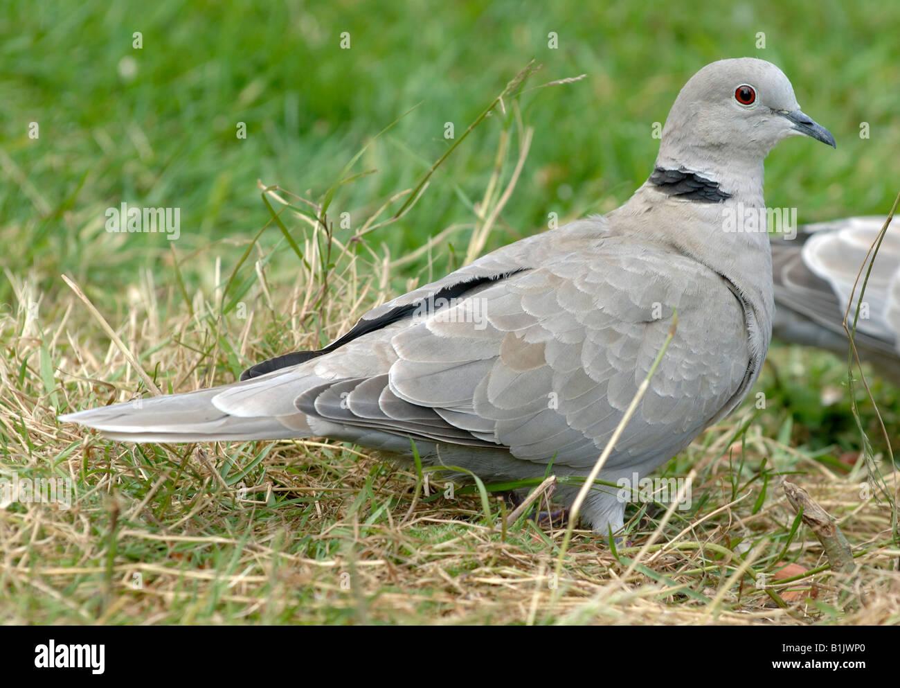 Tête sur l'herbe Devon Photo Stock