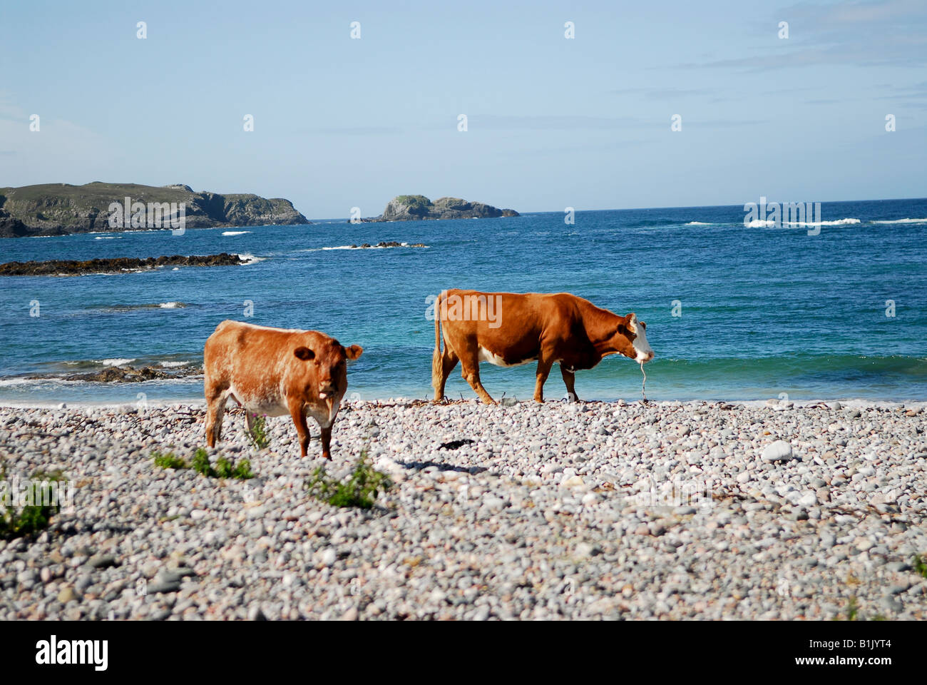 Sur les vaches highland beach Photo Stock