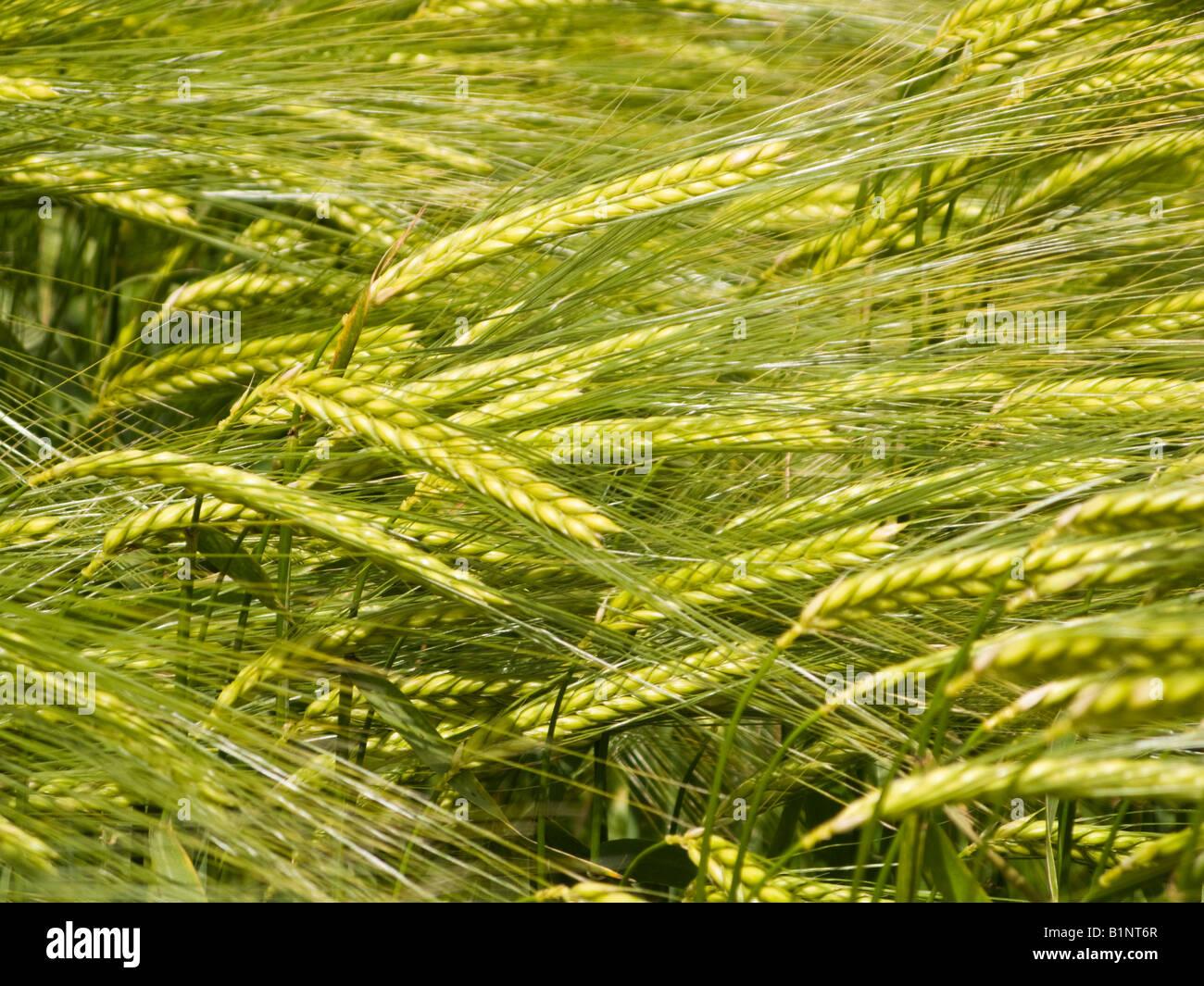 Récolte de l'orge close up UK Photo Stock