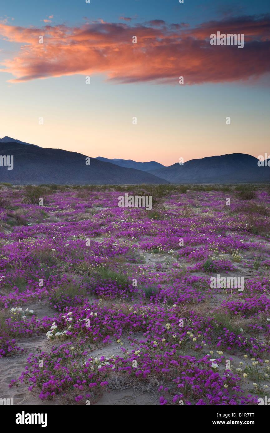 Fleurs sauvages Anza Borrego Desert State Park en Californie Photo Stock
