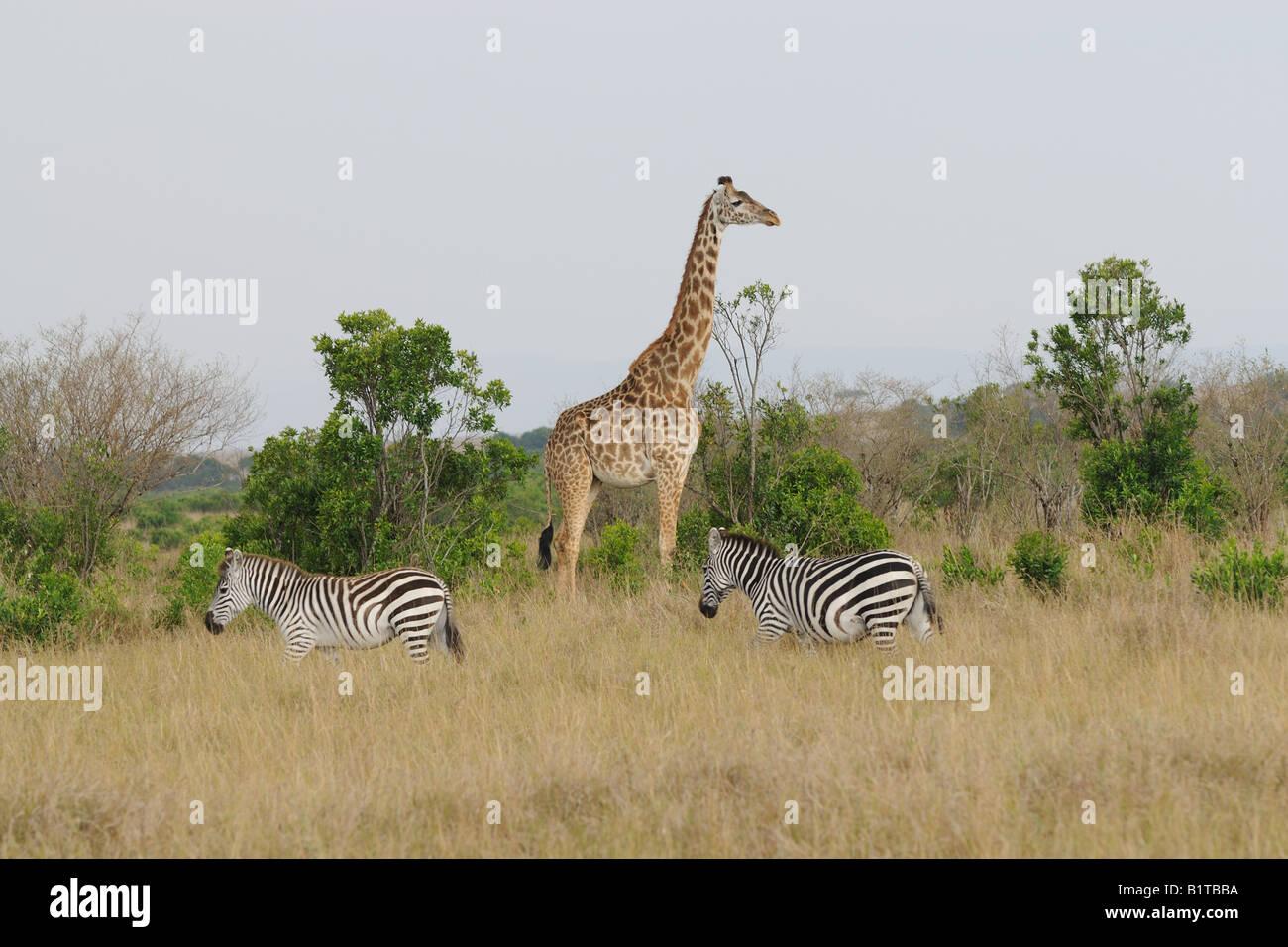 Girafe Masai et commune des zèbres, Masai Mara Photo Stock