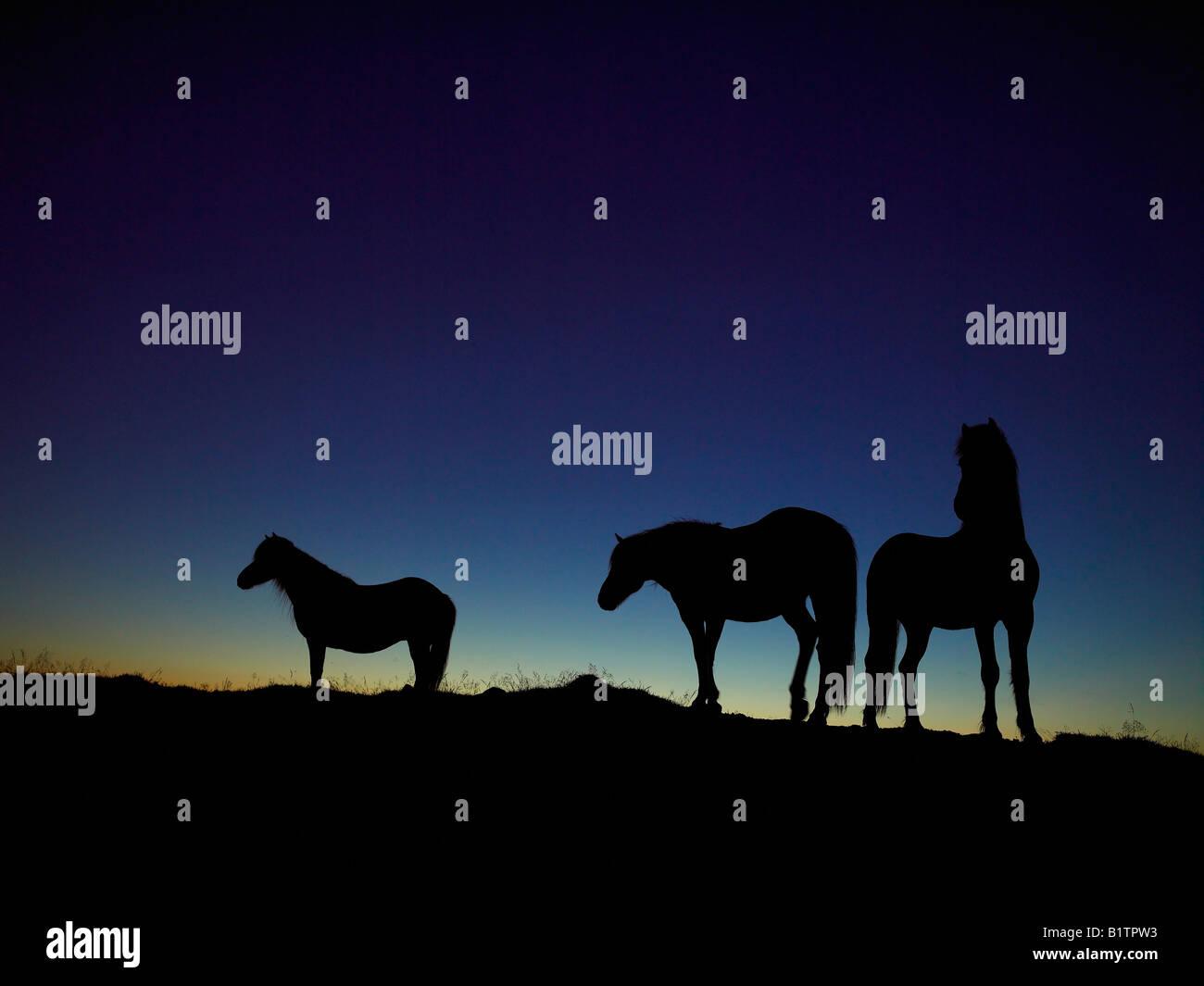 Chevaux Islandais Silhouetté contre le ciel du soir, l'Islande Photo Stock