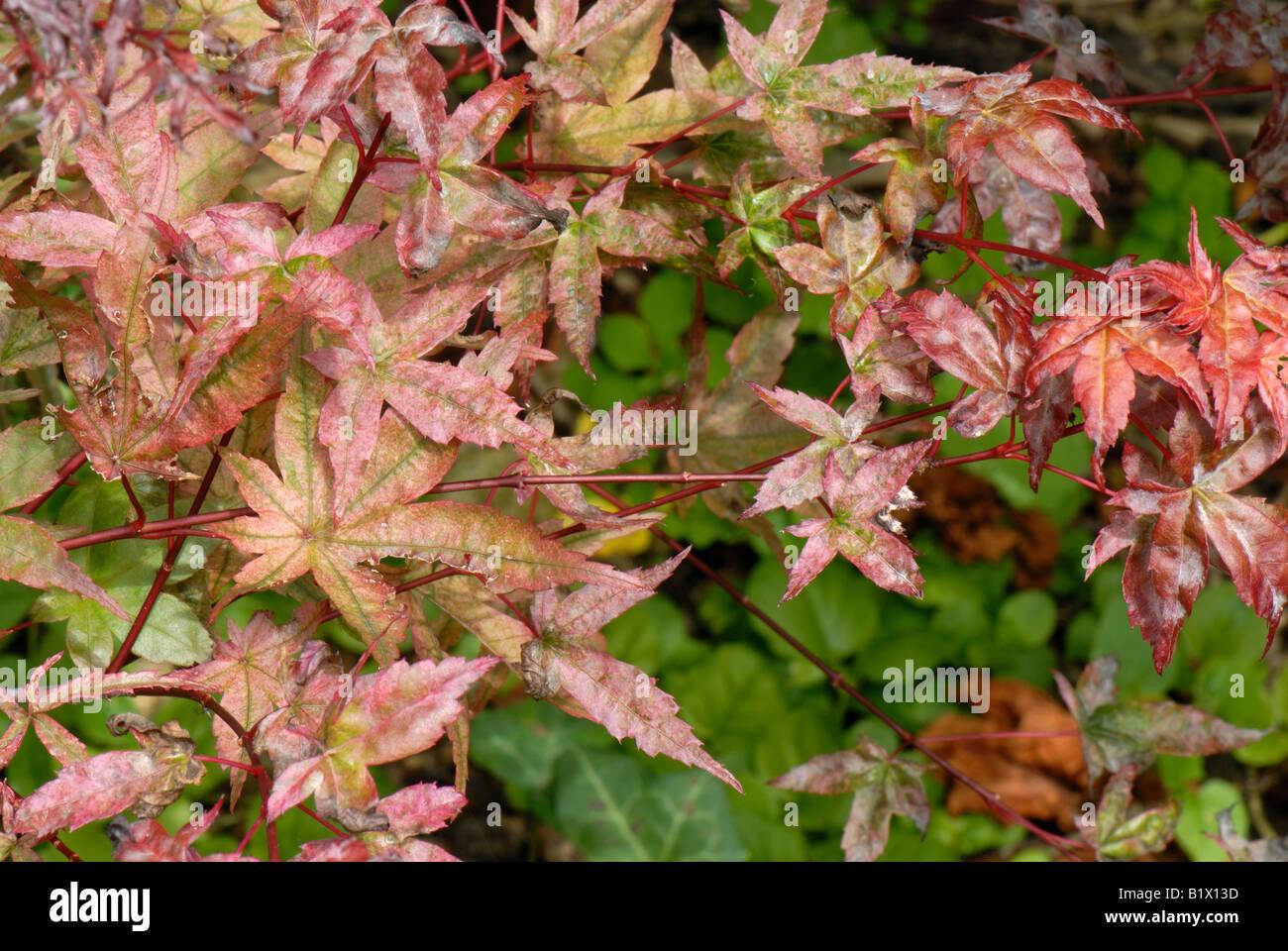 Erable Du Japon Petit l'oïdium sur les feuilles d'un petit érable du japon à