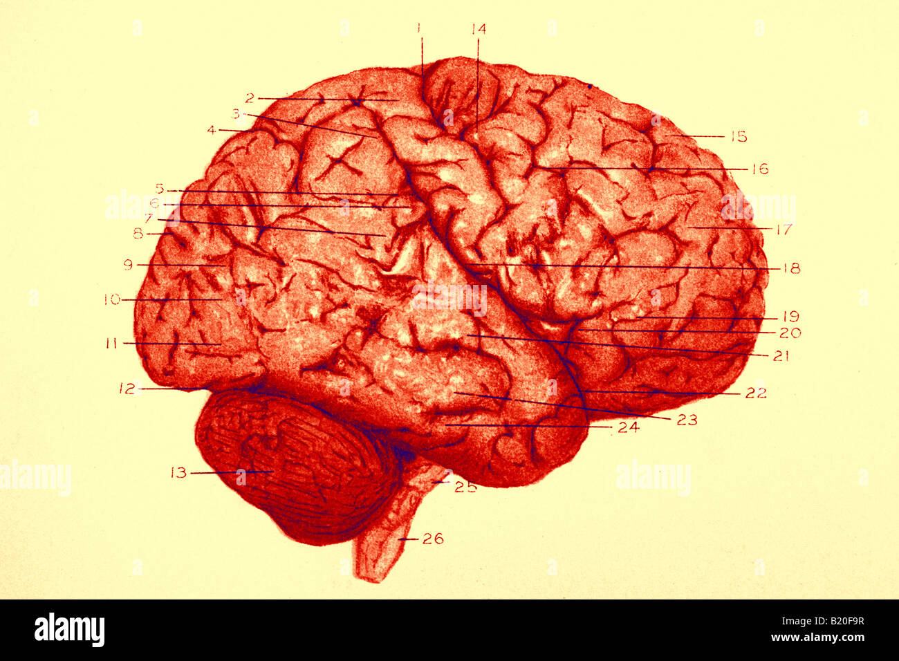 ILLUSTRATION DE L'HÉMISPHÈRE DROIT DU CERVEAU DE CIRCONVOLUTIONS Photo Stock