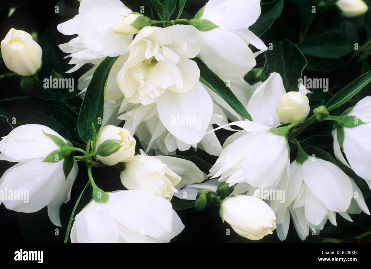 Philadelphus \'Mrs E. L. Robinson\' plante de jardin fleurs ...