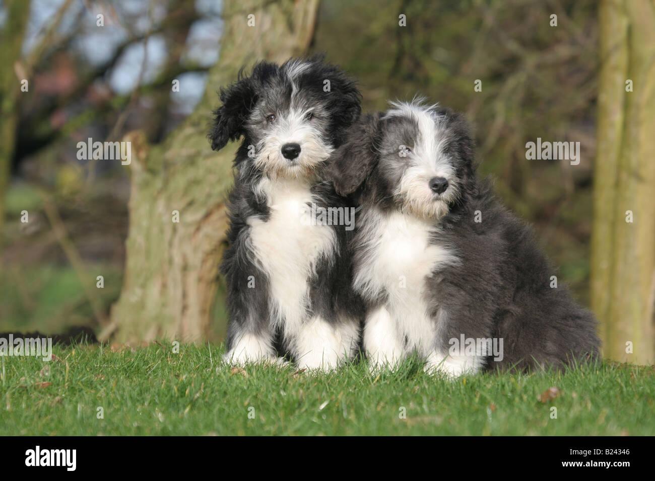 Bearded collie dog / deux chiots assis dans un parc Photo Stock