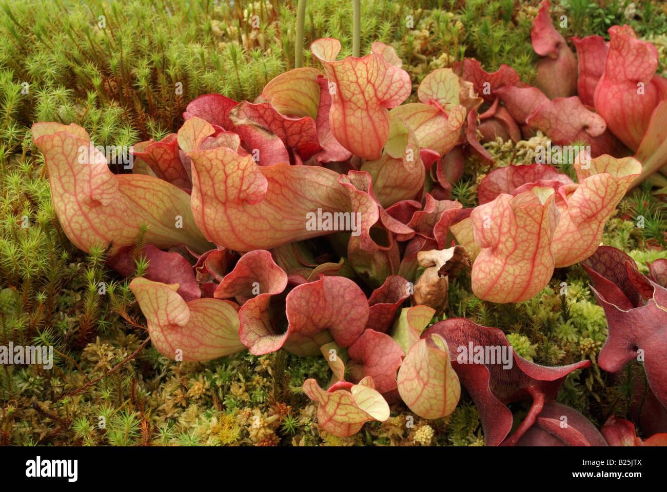 La sarracénie Sarracenia purpurea ssp. venosa Banque D'Images