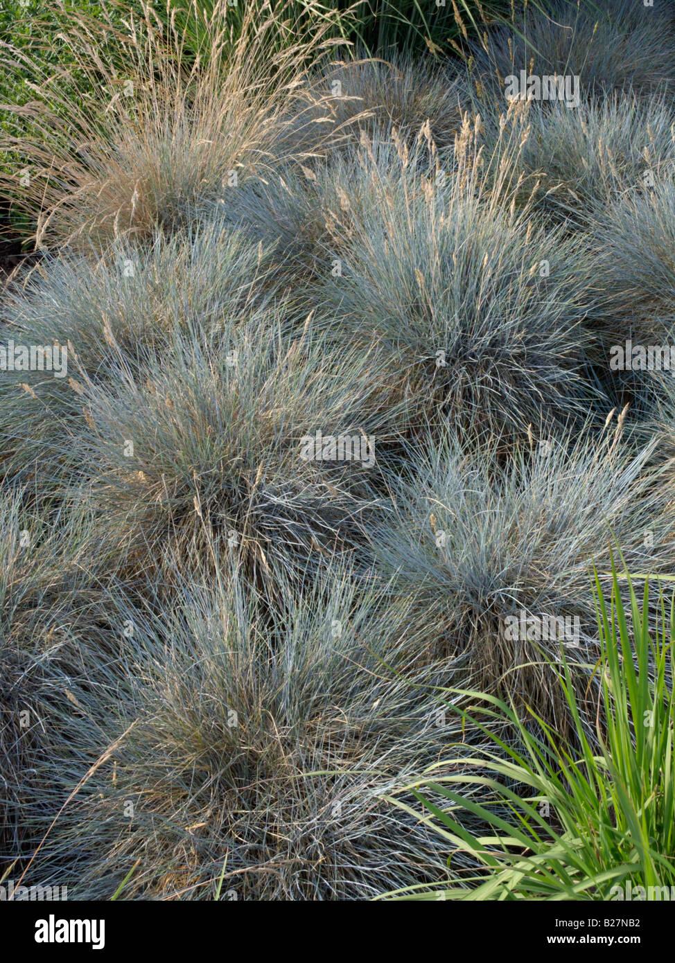 Festuca cinerea glauca//Blue Fescue Grass//Hardy vivace//600 graines
