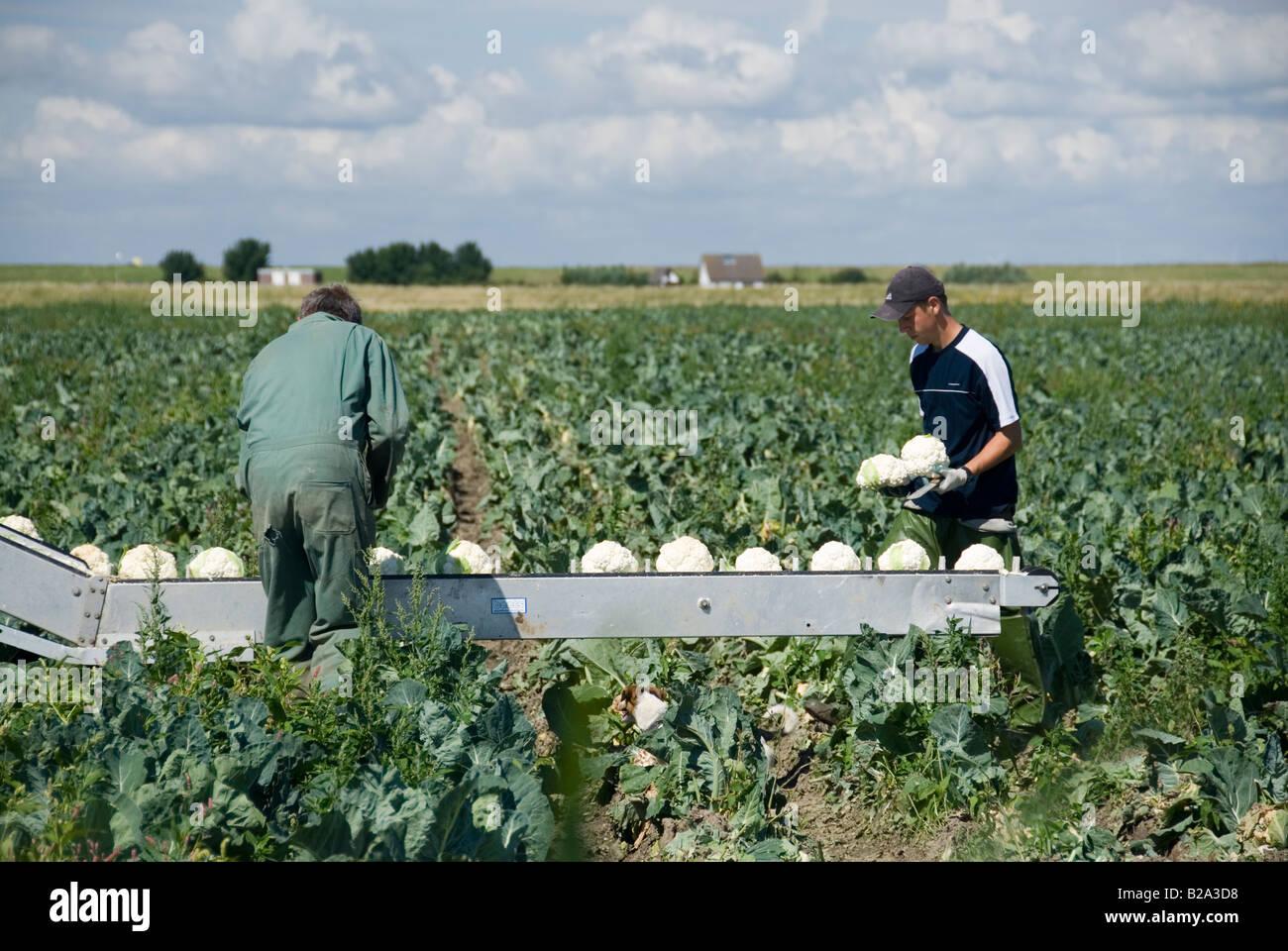 La Recolte Du Chou Fleur En Juillet Pays Bas Banque D Images Photo