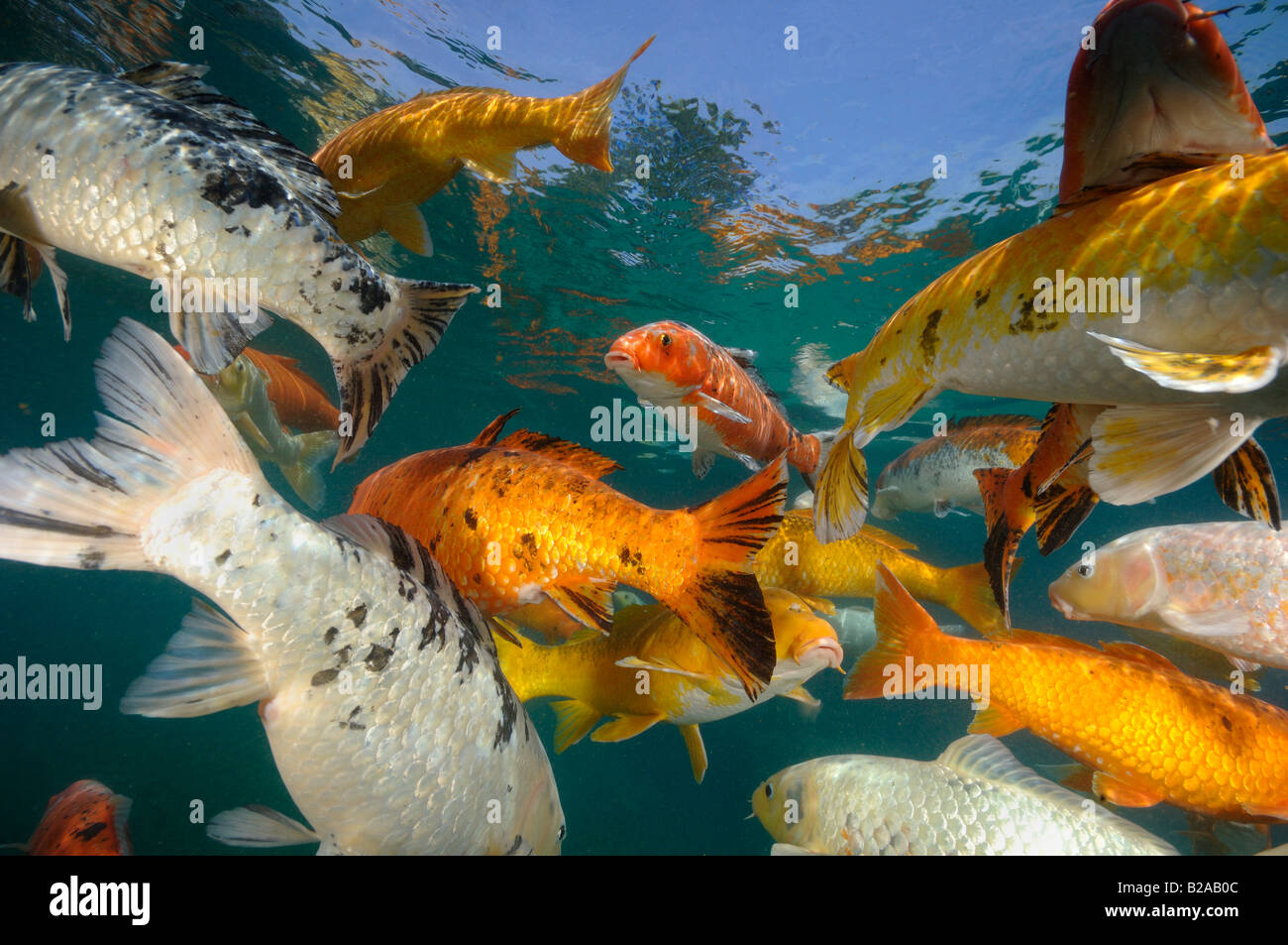 Ornamental photos ornamental images alamy for Carpe koi b