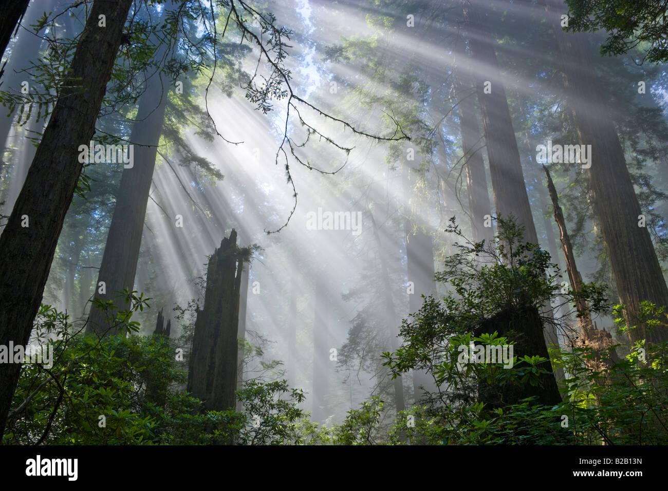 Les rayons du soleil filtrant à travers les forêts de redwood brumeux. Photo Stock