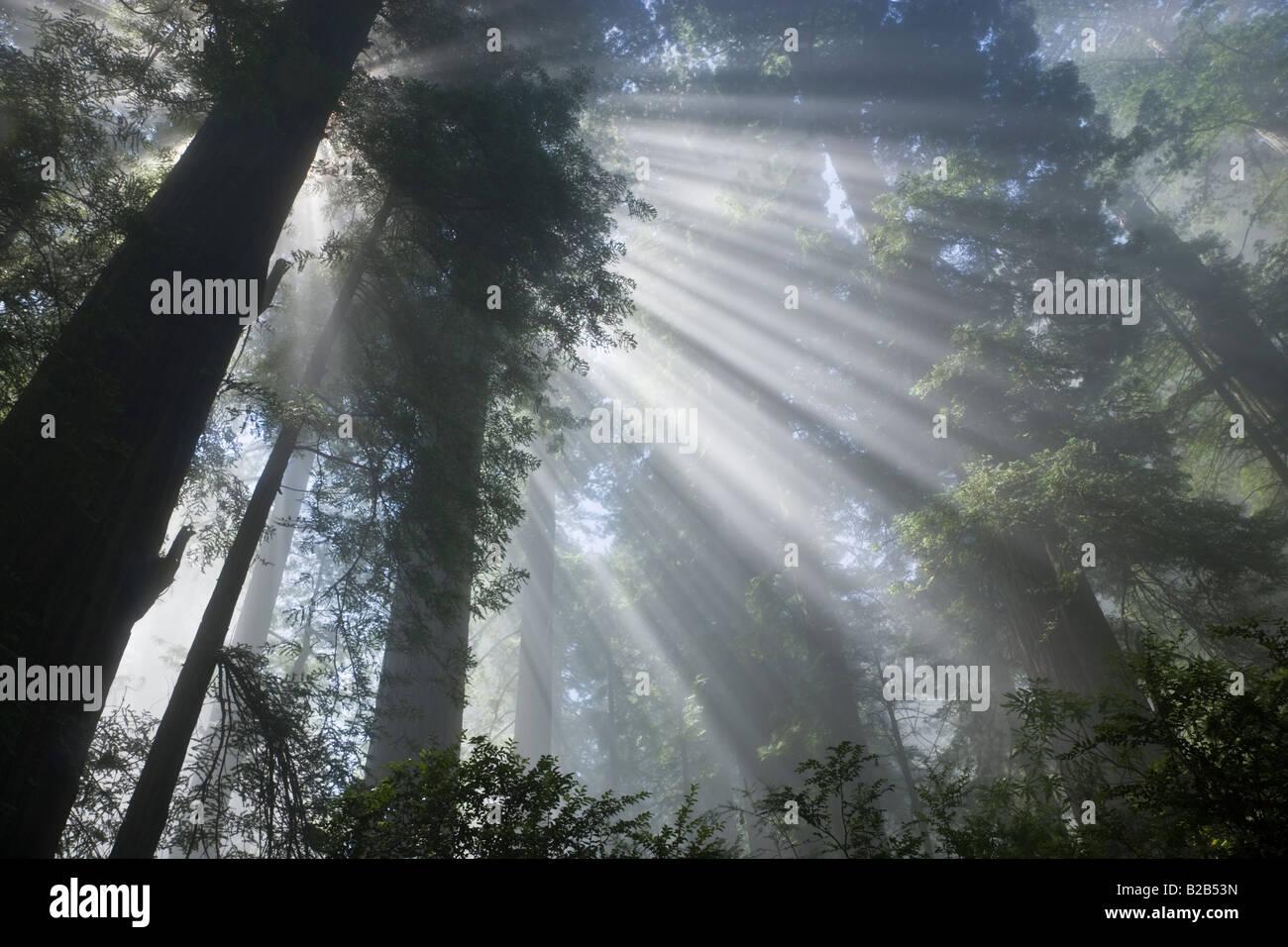 Les rayons du soleil filtrant à travers la forêt brumeuse Bois Rouge Photo Stock