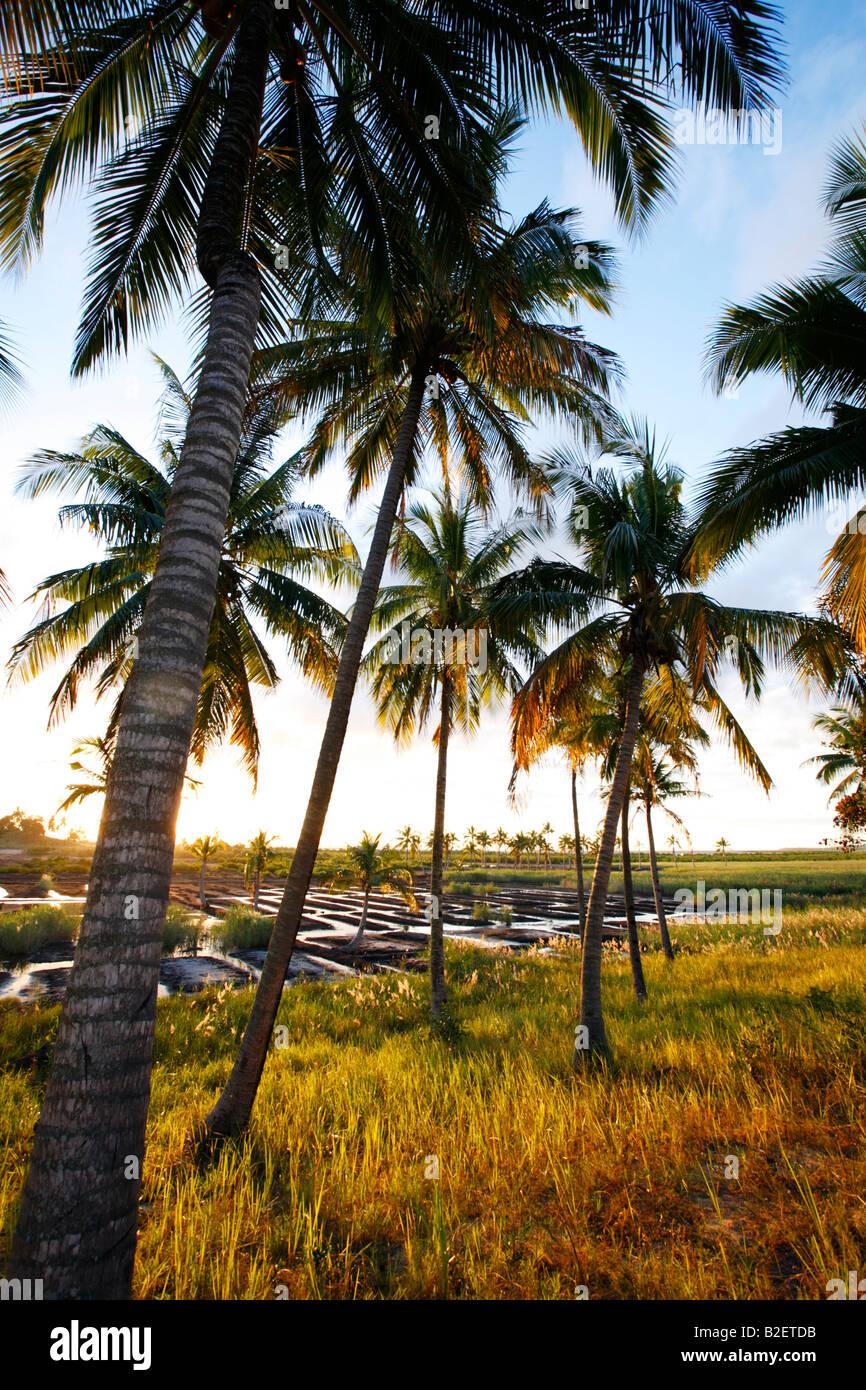 Des cocotiers en bordure d'un domaine dans lequel les sections locales ont préparé les potagers irrigués Photo Stock