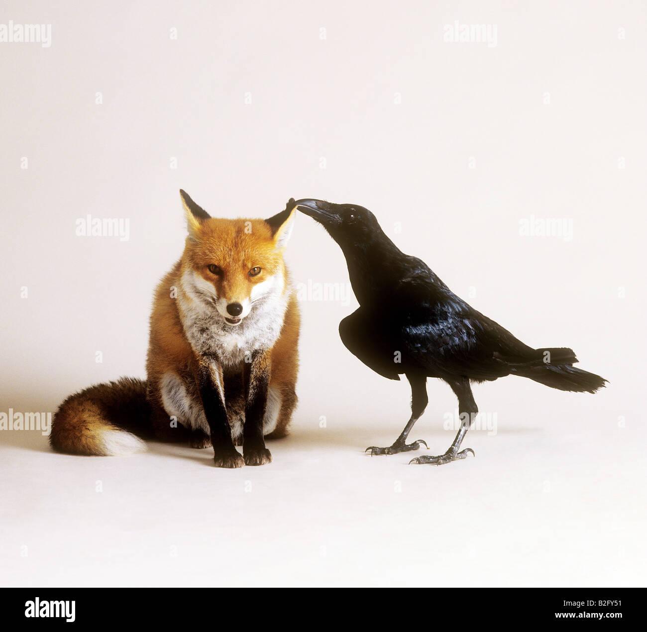 Je ne fais que passer. - Page 3 Amitie-animale-red-fox-et-crow-b2fy51