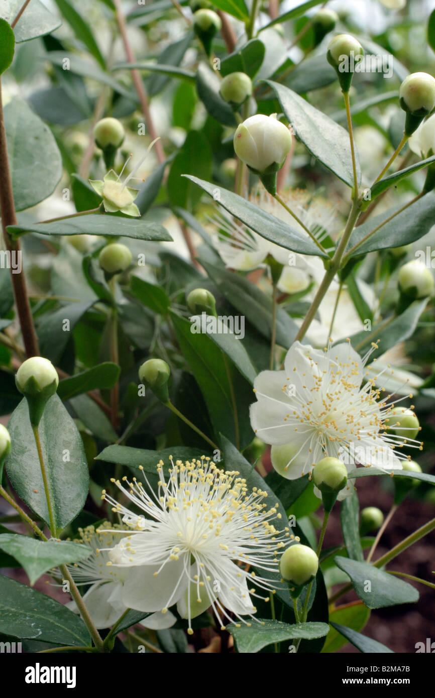 Myrtus Communis Agm En Fleur Au Mois D Aout Banque D Images Photo