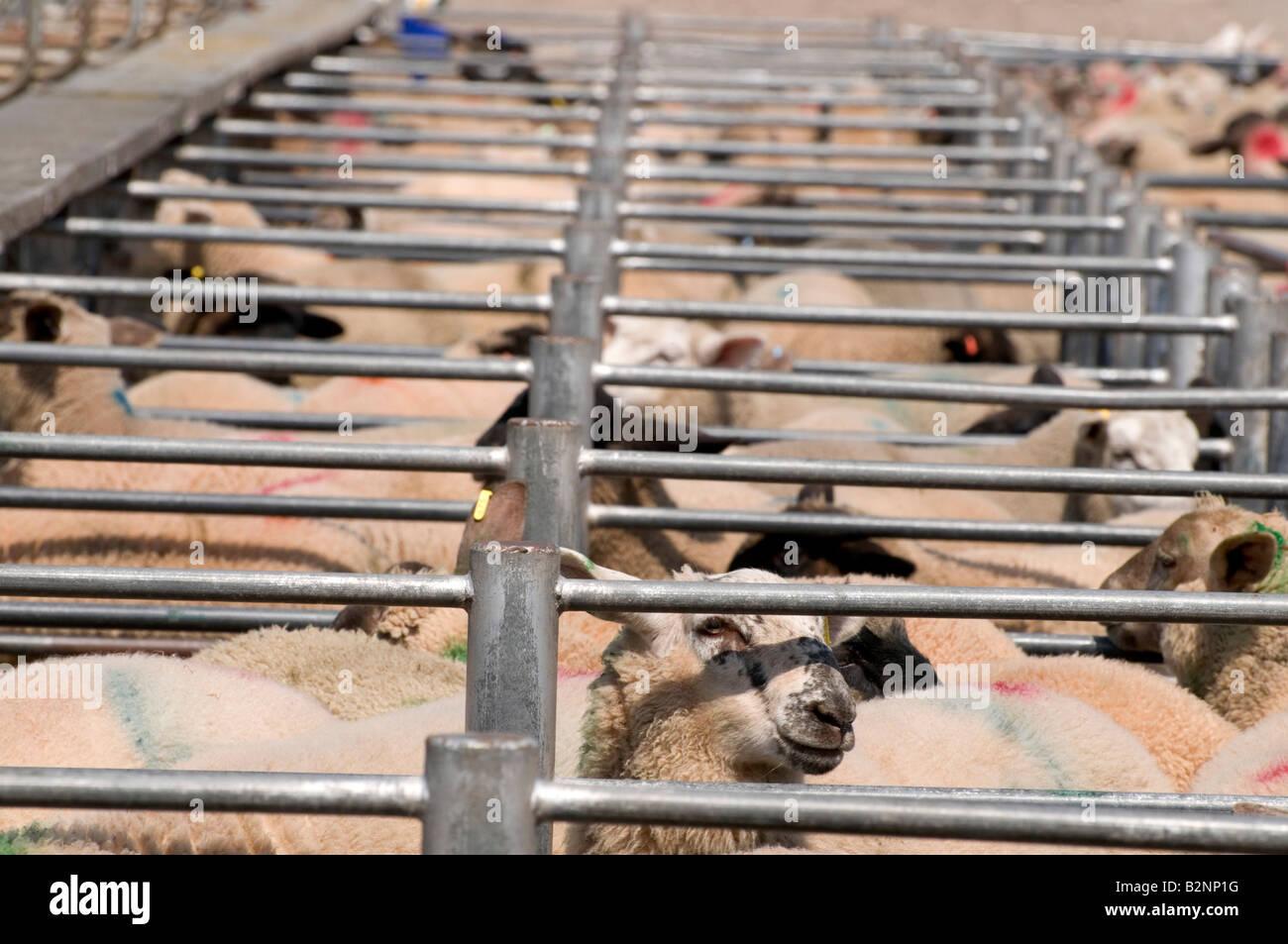 Marché du bétail Hereford - moutons en attente de vente Banque D'Images