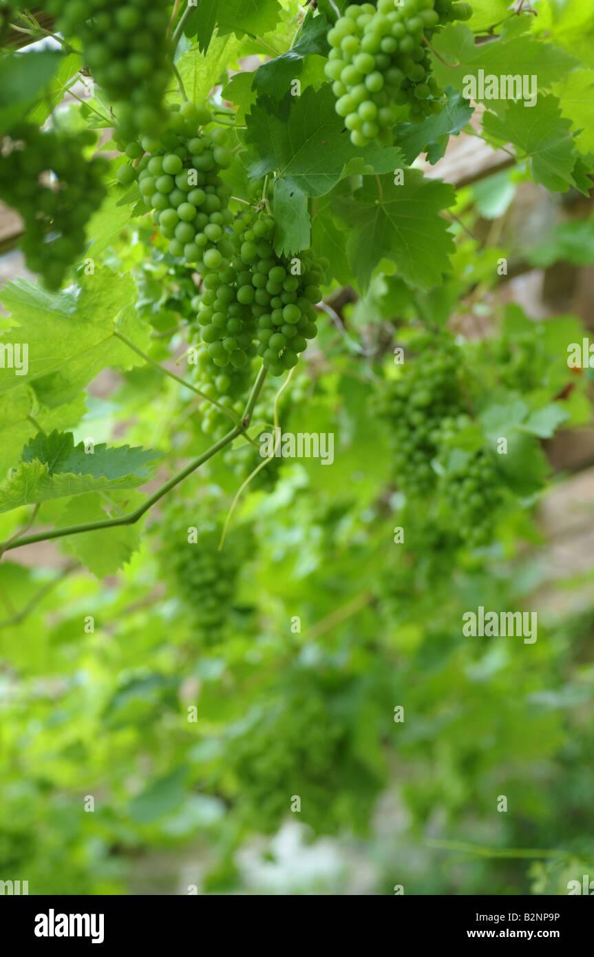 Vitis sp - raisins sur une vigne en serre en Powys, Pays de Galles Banque D'Images