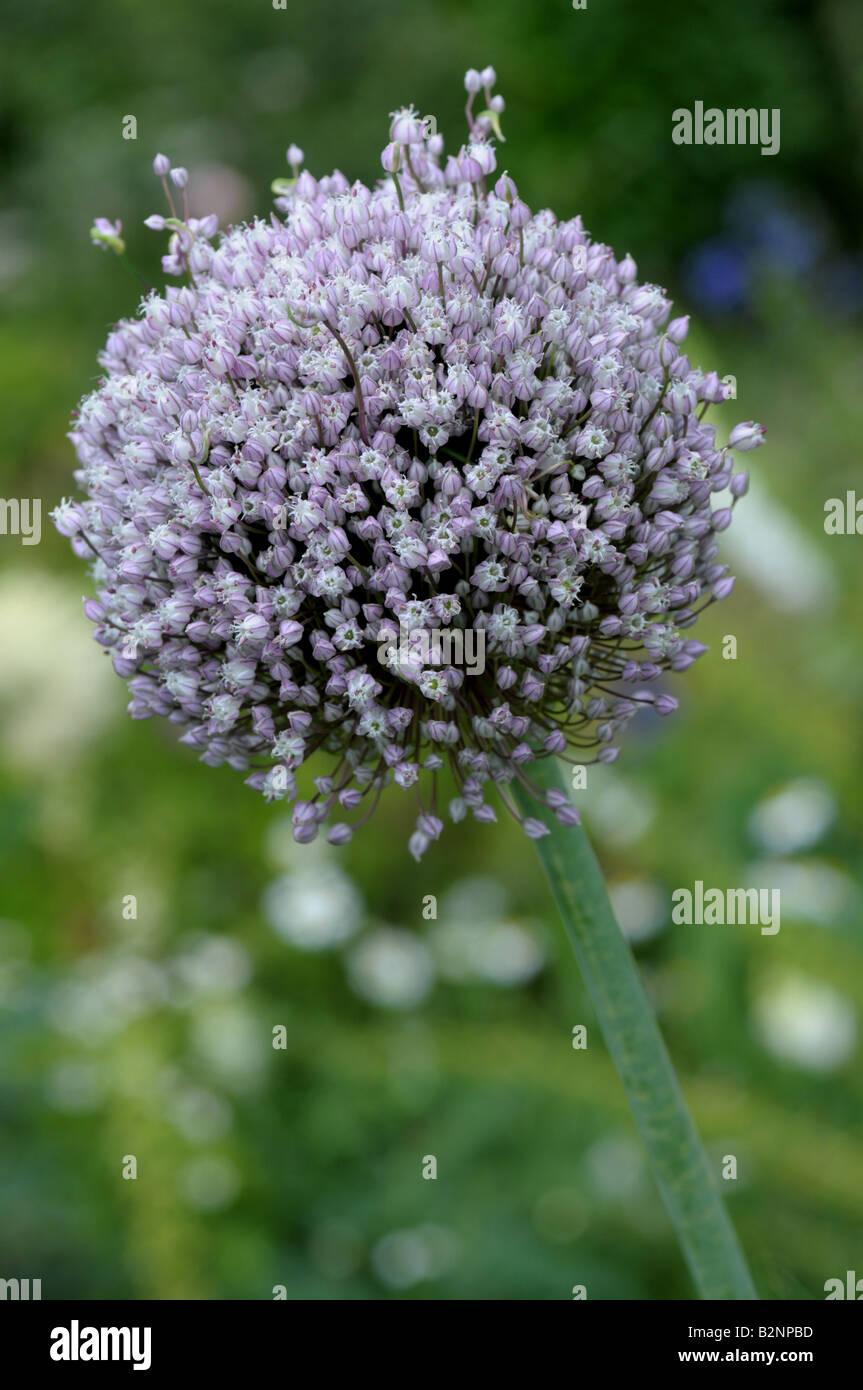 Allium sp - Ail en fleur Banque D'Images