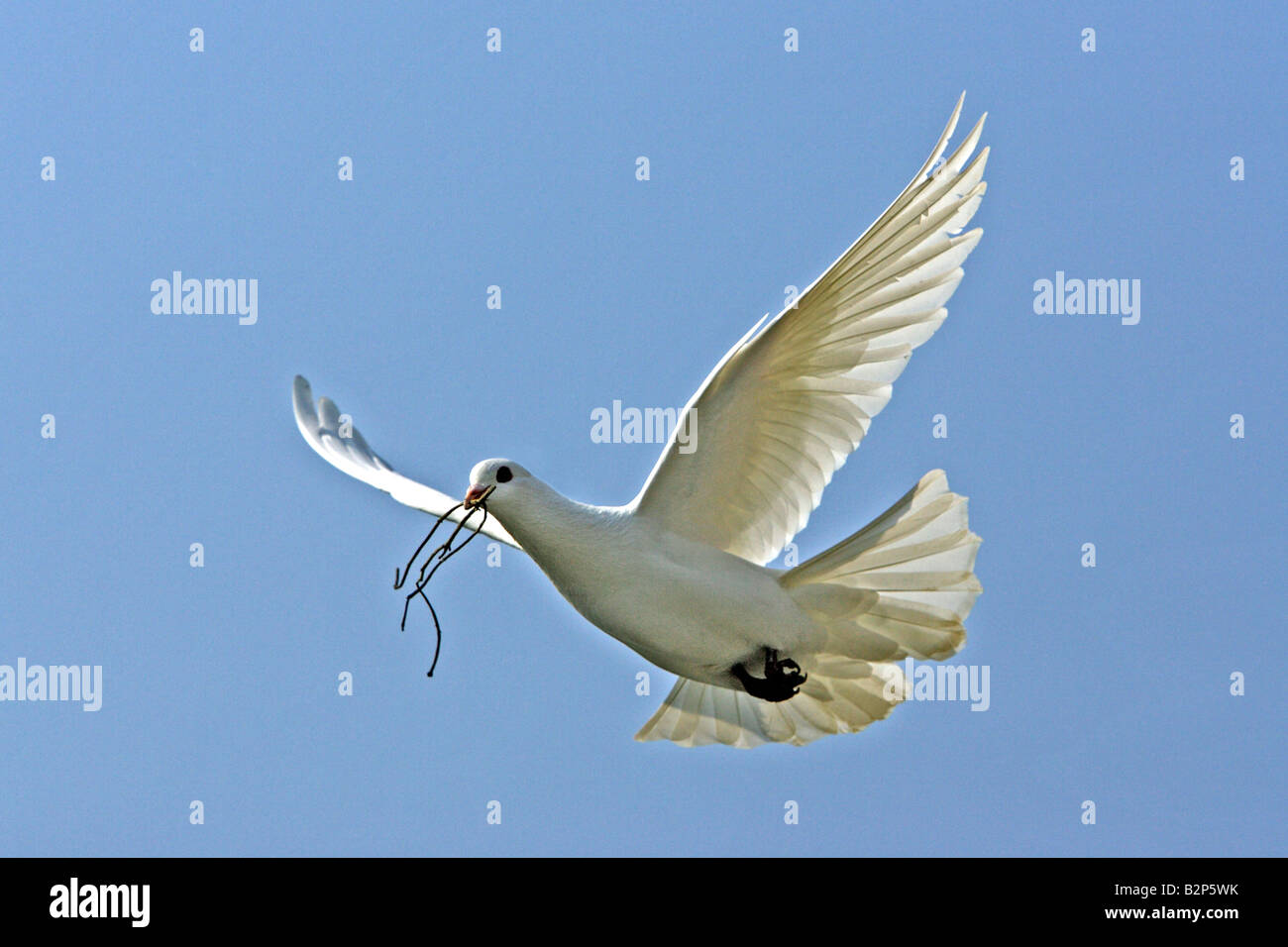 White (Columba sp.) vol avec le matériel du nid dans son bec Photo Stock
