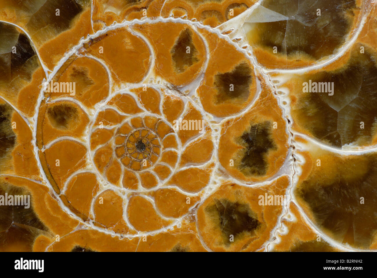 Fossiles Ammonite Perisphinctes sp de Madagascar Jurassique Photo Stock