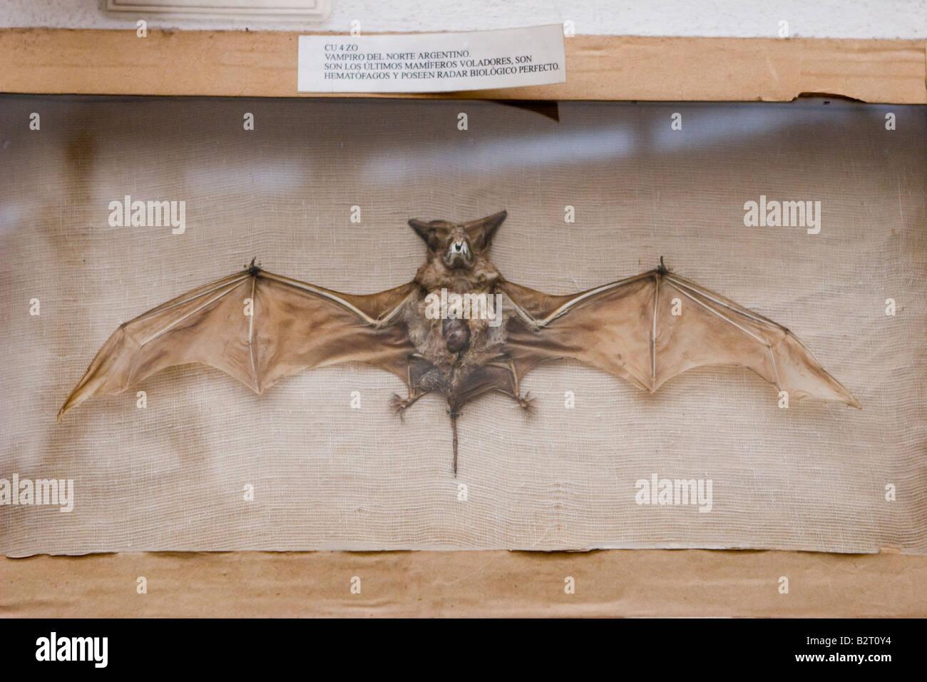 Vampire argentine bat hématophages exposées au Musée Rocsen (Museo Polifacetico) dans Nono, Cordoba, Photo Stock
