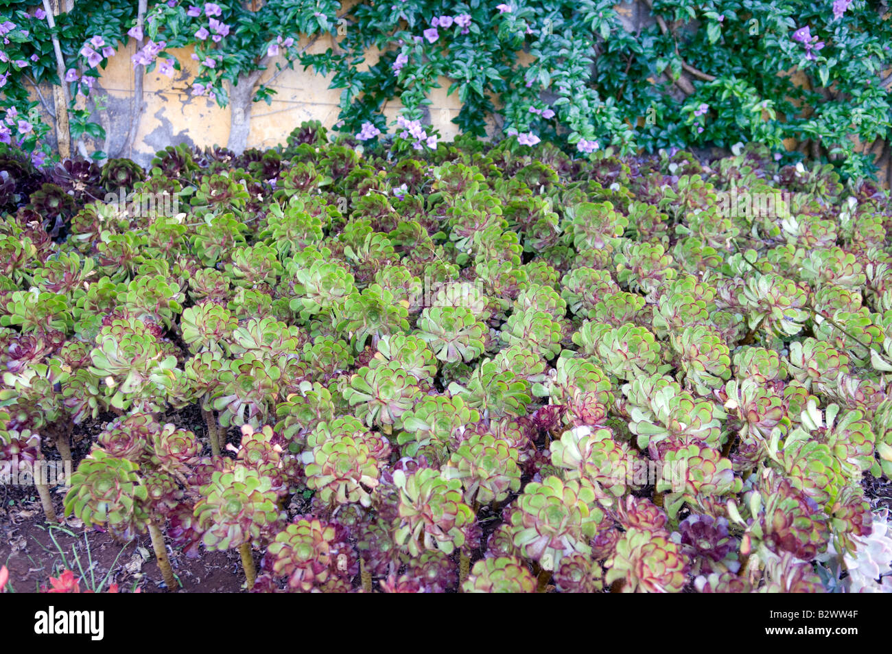 Echevria pulvinata (usine de peluche) Photo Stock