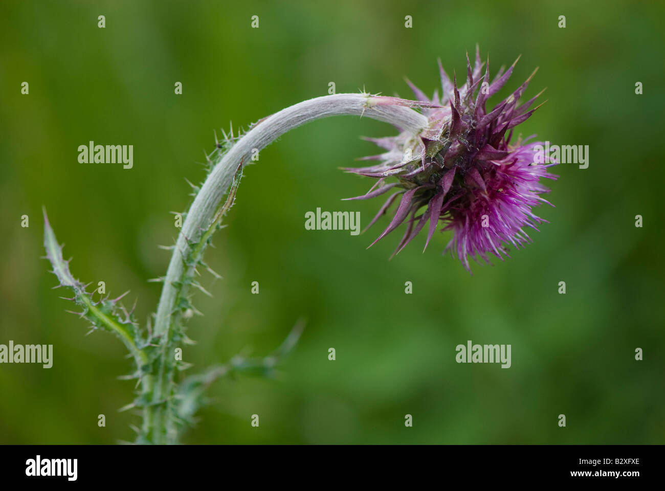 Fuchsia épineux chardon contre verdure. Photo Stock