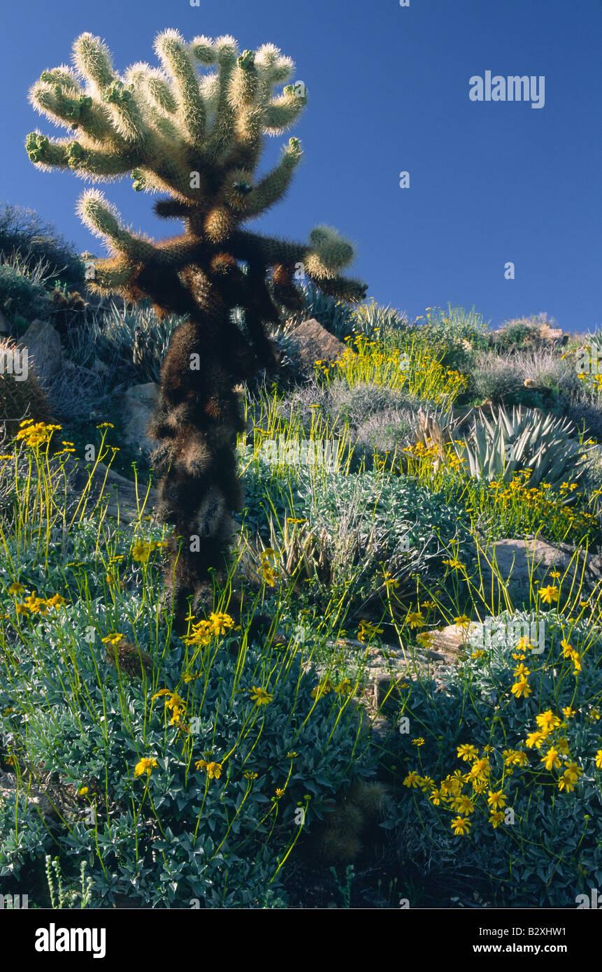Cactus et fleurs sauvages dans Chollla Anza Borrego Desert State Park Photo Stock
