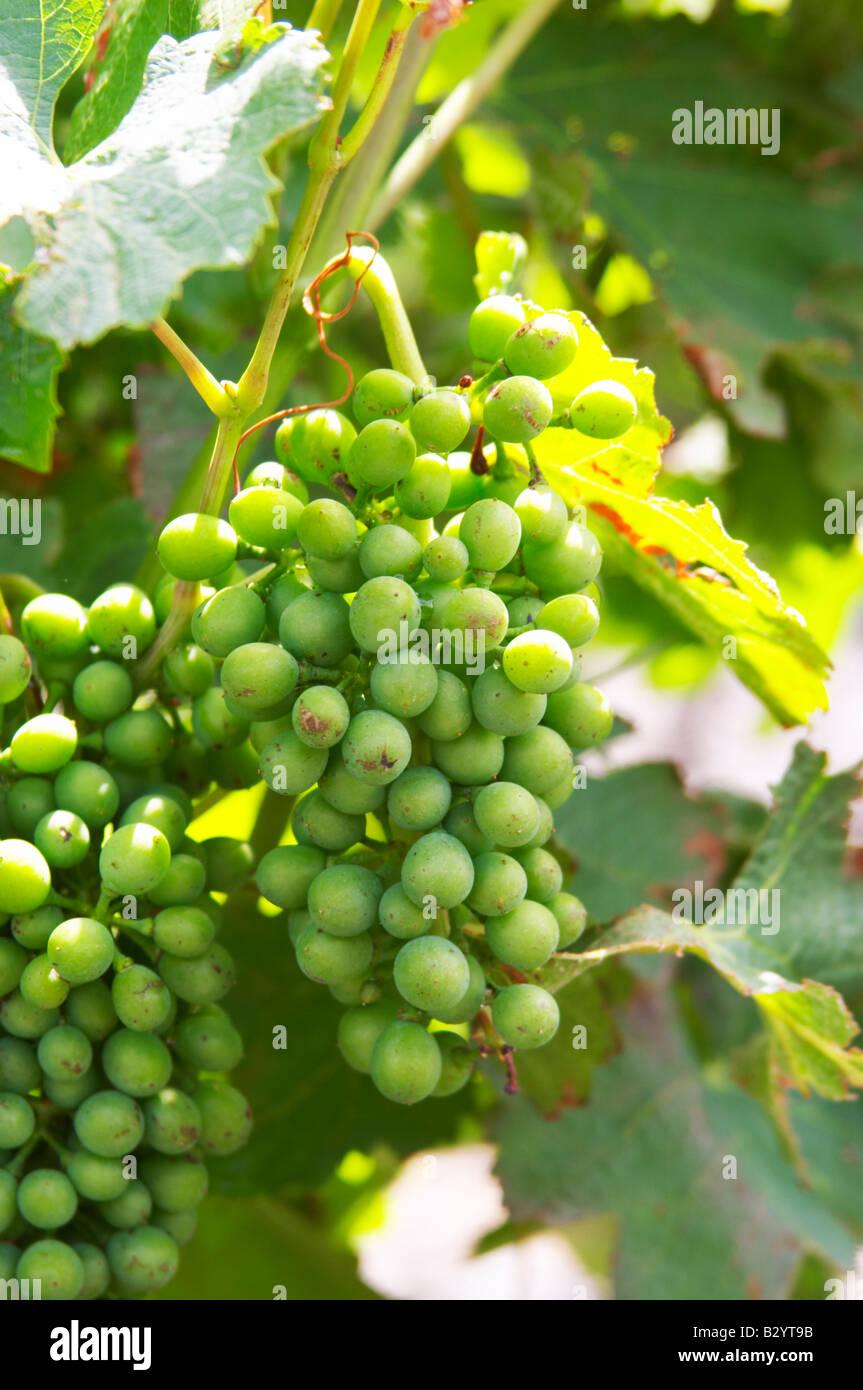 Les raisins ne sont pas mûrs. La Syrah. Domaine Piquemal, espira de l'Agly, Roussillon, France Banque D'Images