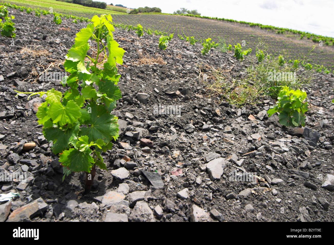 L'ardoise. Vignoble. Les sols noirs. Appelé Terres Brulees. La Syrah. Domaine Piquemal, espira de l'Agly, Roussillon, Banque D'Images