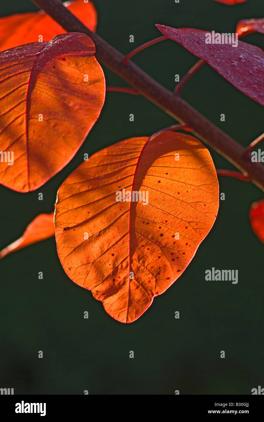 Les feuilles d'automne Prunus serrula Grace en Novembre Photo Stock
