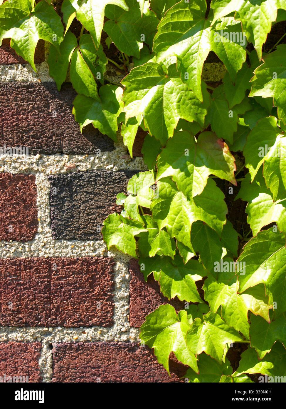 Lierre sur mur brique close up Banque D'Images