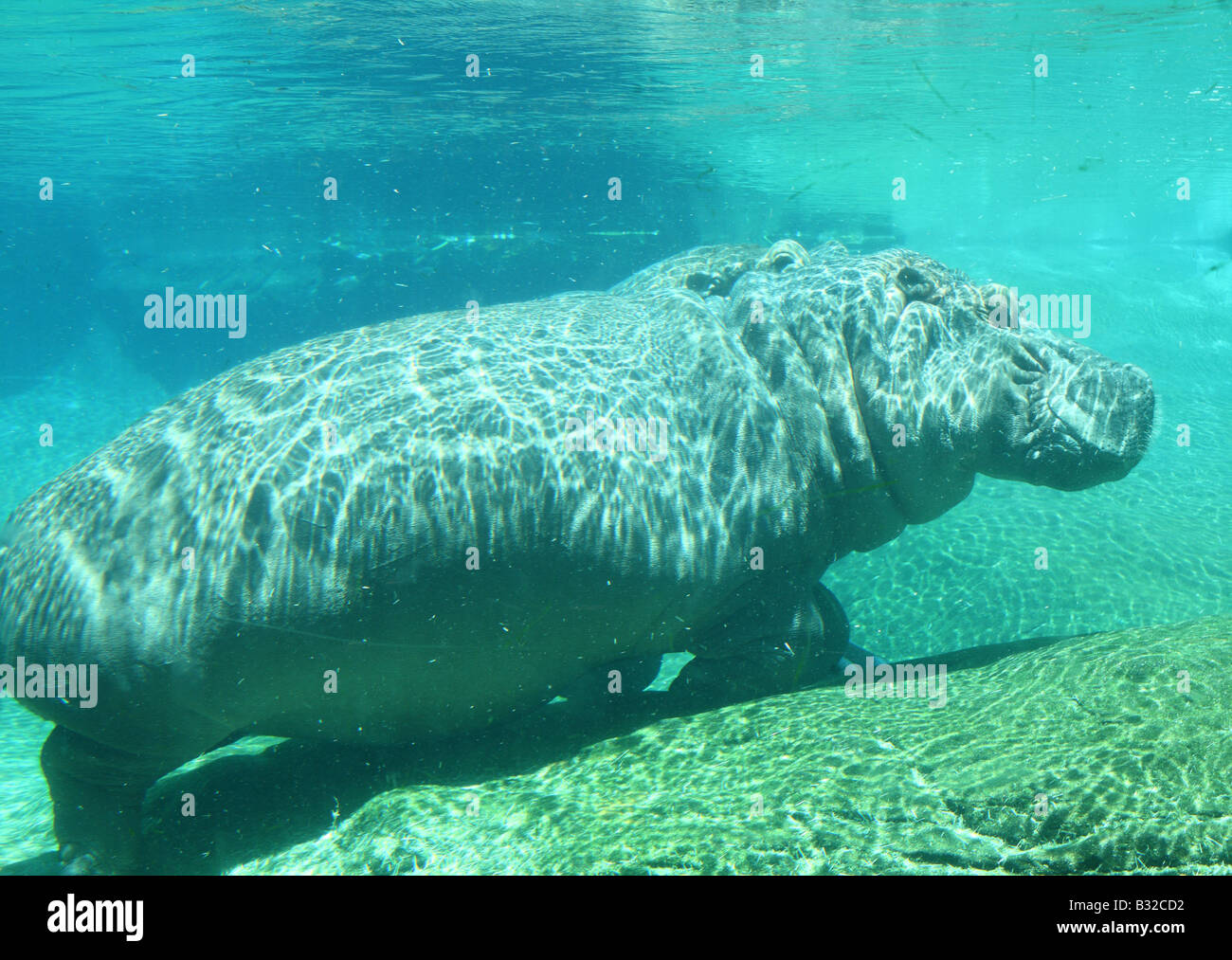 Sous l'Hippopotame hippopotame Photo Stock