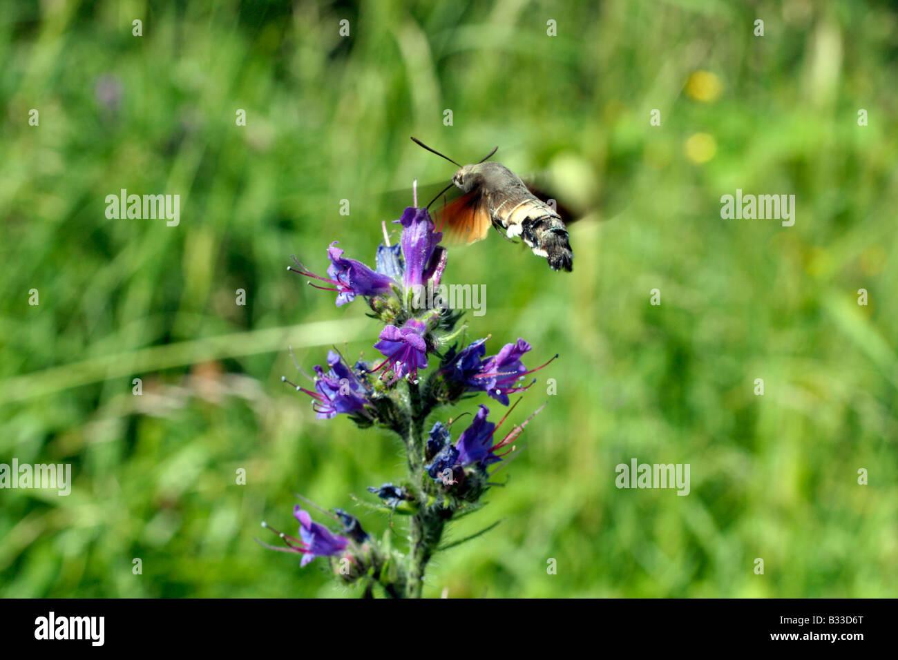 Sphynx Colibri Colibri Moth Macroglossum stellatarum Hawk Photo Stock