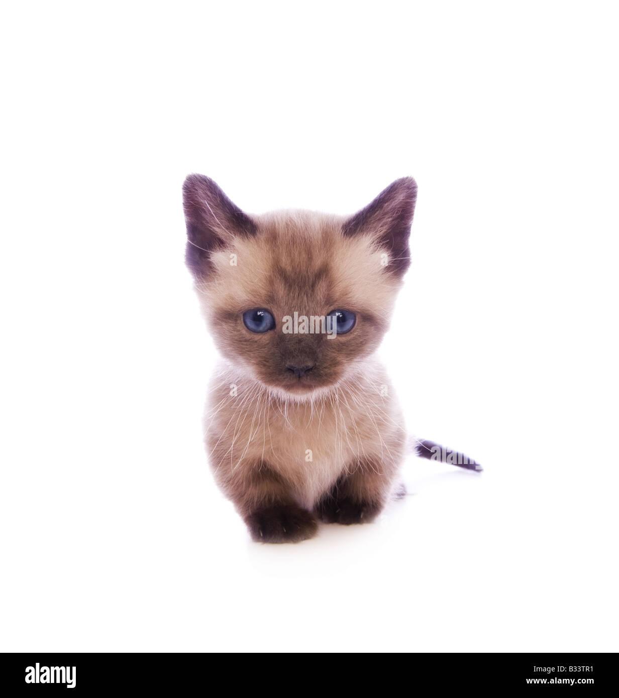 Mignon chaton Munchkin avec grand chef isolé sur fond blanc Banque D'Images