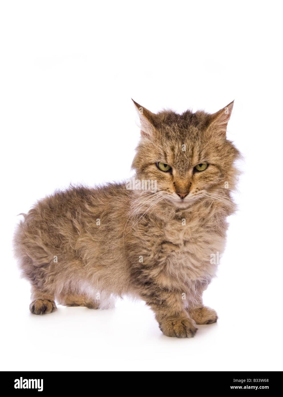 Skookum mignon chat dans une mauvaise humeur isolé sur fond blanc Photo Stock