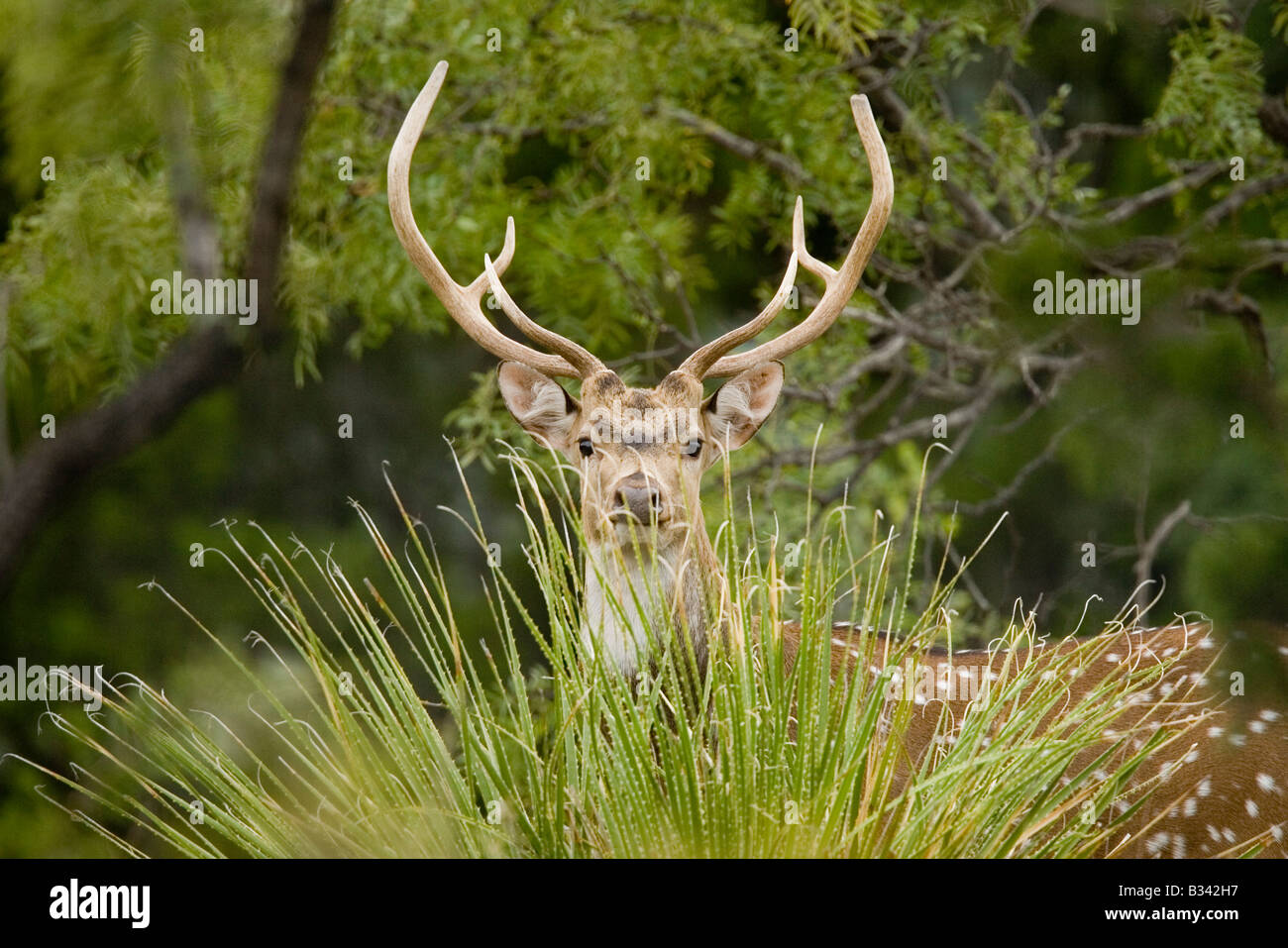 Axe Axis Cervus Ozona Texas United States 12 août femelle adulte en captivité Moschidae immatures Photo Stock