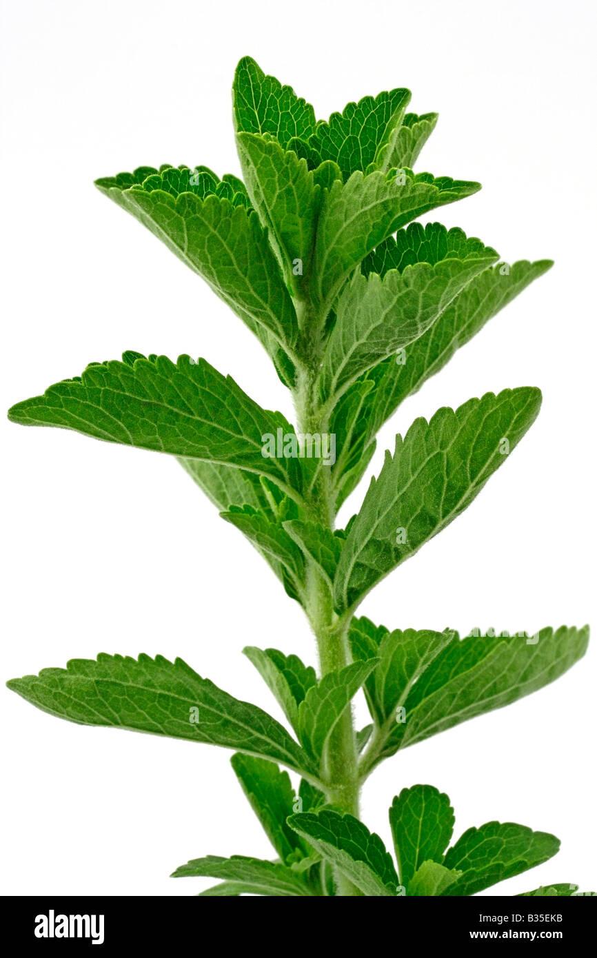 La plante Stevia rebaudiana Sweet Photo Stock