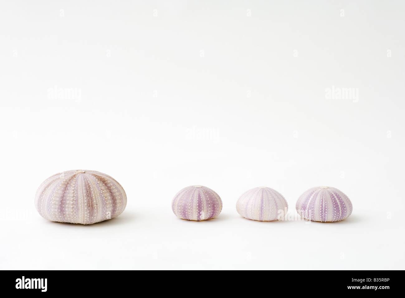 Les coquilles d'oursin de mer séchés, un plus grand que les trois autres Photo Stock