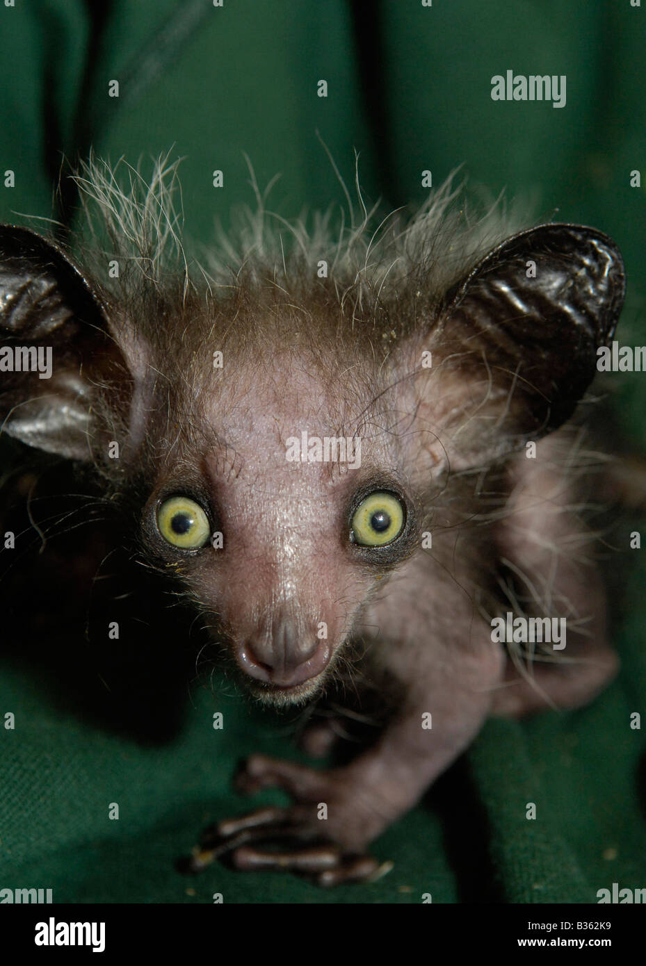 Aye-aye jeunes nés en captivité, UK Photo Stock