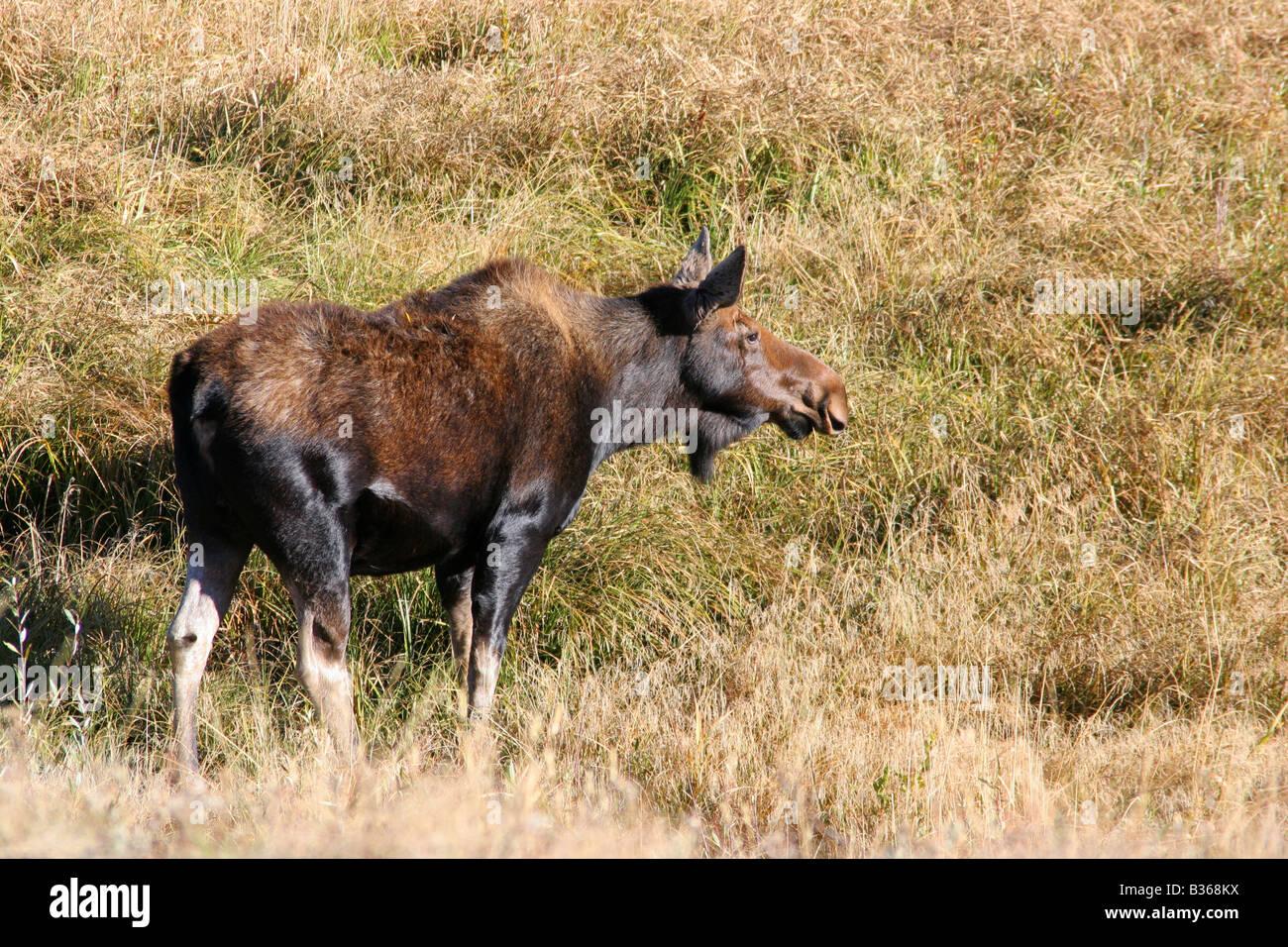 L'orignal femelle, Grand Teton National Park Banque D'Images