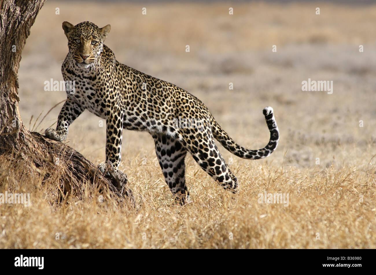 Léopard africain, homme d'essayer de grimper dans un arbre (Panthera pardus), Ngorongoro, en Tanzanie, Photo Stock